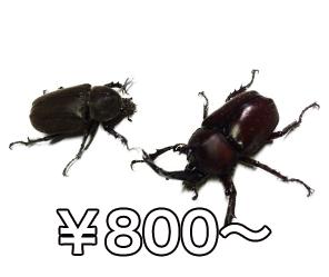 kabutomushi
